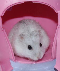 a comprehensive guide on hamsters adoptapet   blog
