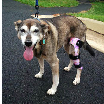 dog wearing orthopedic knee brace
