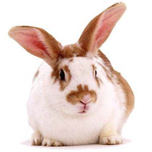 Brown and white lionhead rabbit - photo#19