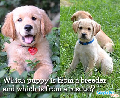 breeder-vs-rescue