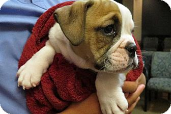 Bulldog-puppy-profile