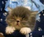 rear-a-new-kitten
