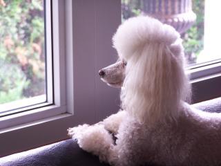 poodle-waiting-window