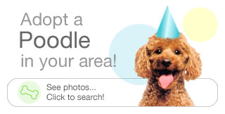 adopt a poodle in your area