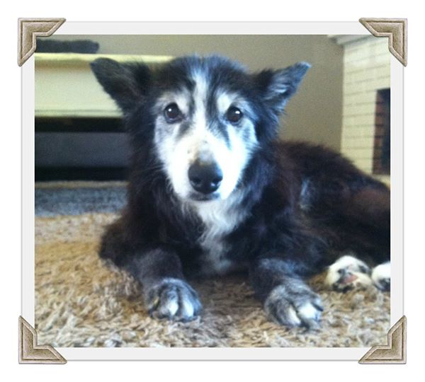 Estelle-senior-dog