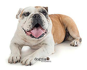Bulldog-Rosie