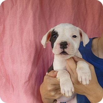 Bulldog-mix-puppy