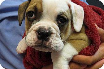 Bulldog-pup
