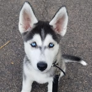 husky-puppy-rehome