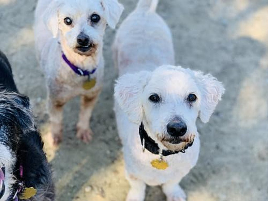 two adoptable white dogs